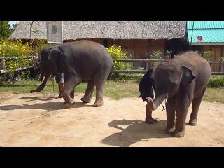 Слоны танцуют опа гамна стайл))) Тайланд