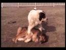 Собачьи бои Бульдозер vs Барон