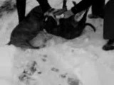 Собачьи бои Питбуль против бультерьера!!