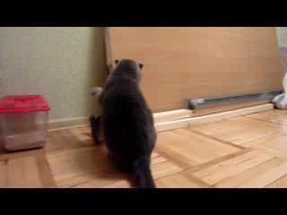 знакомство шиншиллы с котом