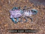 Линька скорпиона Heterometrus spinifer