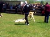 Собачьи бой с летальным исходом