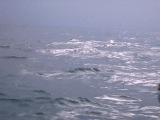 дельфин альбинос