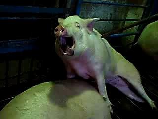 Забой свиней током - Пиздец.....
