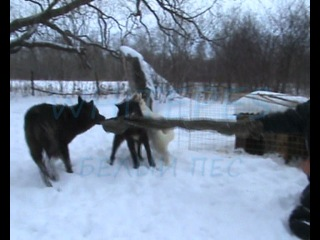 Мои канадские волки
