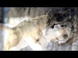 «ВОЛКИ» под музыку Шаманский бубен - Волк. Picrolla