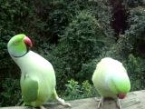 Смешные говорящие попугаи