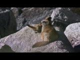 BBC: Мир природы - Снежный барс