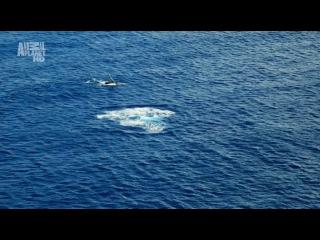 Animal Planet: Wildest Arctic - Iceland (Суровая Арктика - Исландия, 2012, серия 4).
