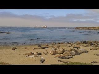 Elephant seal (северный морской слон)по дороге в Сан Франциско