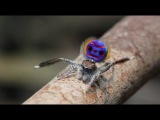 брачные танцы паука-павлина