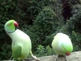 Прикол. Смешные говорящие попугаи