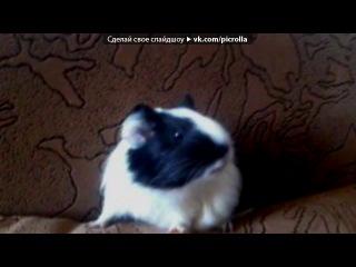 «Ваши беременные свинки и их малыши))» под музыку Штраус - вальс морских свинок. Picrolla