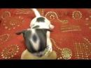 Бертрам-сапфир свирепый пёс