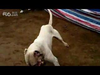 собачьи бои аргентинец против ротвейлера