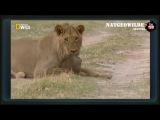 Мангуст против льва. Схватка крошечного зверька и огромного льва - Мангуст Победитель - Редкие кадры