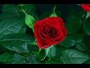 вы видели как распускаются цветы ? красота