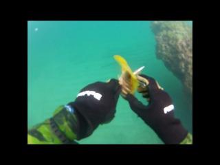 Подводная охота в Карибском море, тактика (ожидание) засада, рыбы 1.SeaBream, 2.Yello