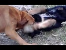 собачьи бои бельгийкая овчара VS тибетский мастиф