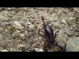 Игры со скорпионом) Абхазия