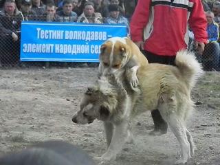 Между народные собачьи бои