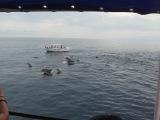 В стаи белый дельфин-редкость.Крым 2013