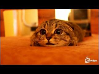 Шотландский вислоухий напуганный котенок