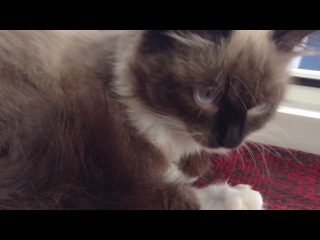 это нормально то,что моя кошка лижет палец на задней лапе перед сном?))