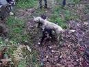 Собачьи бои аргентинский дог 10 м vs ротвейлер