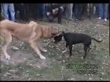 Собачьи бои Питбуль vs Кангал