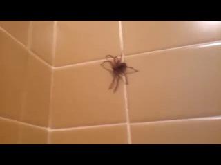 Паук в ванной