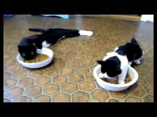 бедные коты(их напоили водкой и потом ржут!