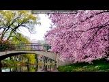 Основной альбом под музыку Классическая японская музыка - Цветущая вишня . Picrolla
