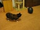 моя киса играет шариком