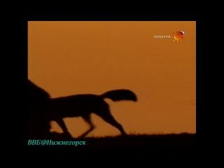 BBC «Наедине с природой: Красные волки Индии. Дикая свора» (Документальный, 2000)