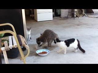 Енот ворует еду у кошек - самое смешное в конце! :-)