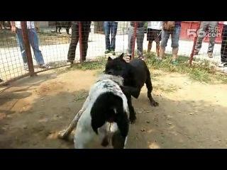 собачьи бои канне корсо против алабая
