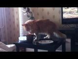 Кошка лижет кефир