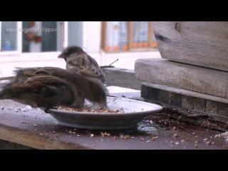 Воробей sparrow, HD FEP RUSSIA.mp4