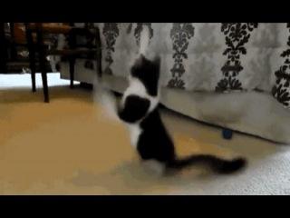 Двулапый кот, по имени Анакин, во время игры.