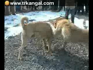 Собачьи бой Алабай vs Кангал