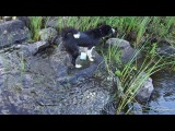 Карельская медвежатница Луста изучает камни у острова.