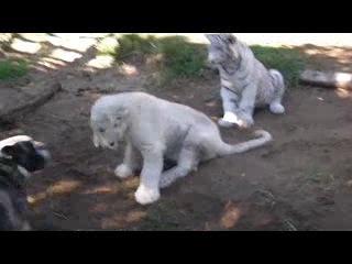 Бульдог играет с львом и тигром тигр лев львенок ливица собака собчак выборы майдан реклама секс порно порево инцест