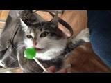 моя сумасшедшая кошка лижет коноплянный чупа-чупс.