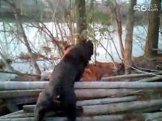 Собачьи бои немецкая овчарка vs кане корсо