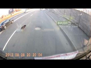вот такая настырная собачка | ДТП авария