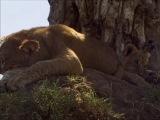 4 of 8 - / Жизнь животных - Плотоядные: Лев /The Wildlife Specials: Lion/ 2000