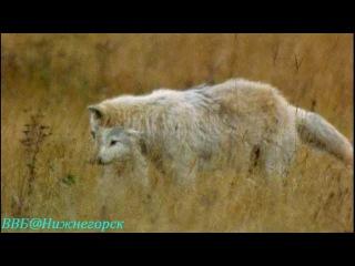 BBC Рассказы о животных 13 серия Документальный 2008