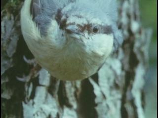 3 of 12 - / BBC: Живая планета. Северные леса / The Living Planet / 1984
