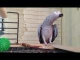 ♥♥♥Говорящий попугай Жако Гоша♥♥♥Мой сладкий...